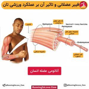 فیبر عضلانی